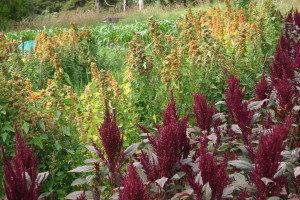 quinoa temuco amaranth pt