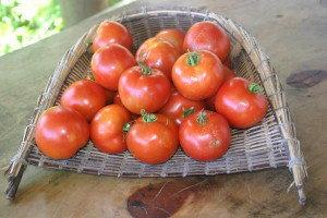 Tomato Ponsonby Red