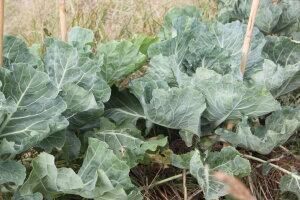 dalmation cabbage
