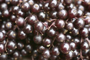 Grow your own Winter medicine. Adam Elderberries are great for any chest and lung issues.
